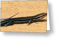 Black Beauty. Five Lined Skink. Greeting Card