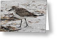 Black-bellied Plover Greeting Card