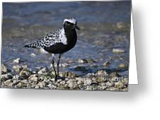 Black-bellied Plover No.2 Greeting Card