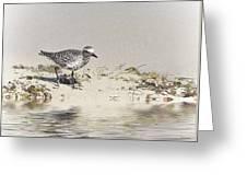 Black Bellied Plover Greeting Card