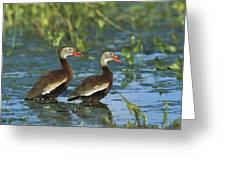 Black-bellied Whistling Ducks Wading Greeting Card