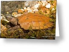 Black Breasted Leaf Turtle Greeting Card