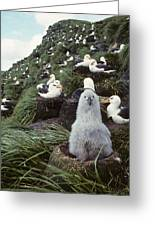 Black-browed Albatross Chick Sitting On Greeting Card by Joel Bennett
