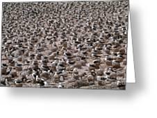 Black-browed Albatross Nesting Colony Greeting Card