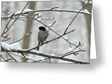 Black Capped Chickadee - Poecile Atricapillus Greeting Card