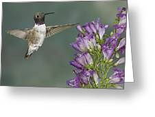 Black Chinned Hummingbird 2 Greeting Card