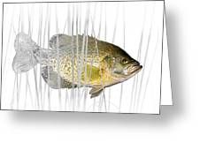Black Crappie Pan Fish In The Reeds Greeting Card
