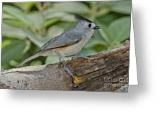Black-crested Titmouse Greeting Card