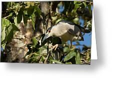 Black-crowned Heron Looking For Nesting Material Greeting Card