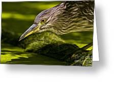 Black Crowned Night Heron Pictures 115 Greeting Card
