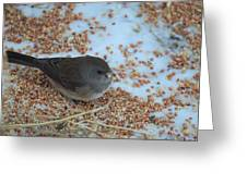 Black Eyed Junco Greeting Card