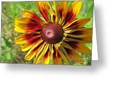 Black Eyed Susan Variety Greeting Card