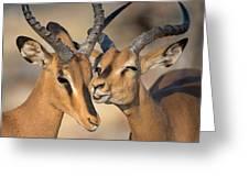 Black-faced Impalas Aepyceros Melampus Greeting Card