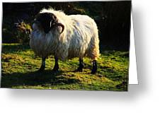 Black Faced Mountain Sheep Greeting Card
