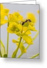 Black Garden Ant On Yellow Flower Greeting Card