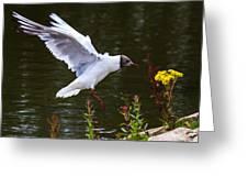 Black Head Gull - Preparing For Landing Greeting Card