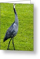 Black Headed Heron Greeting Card