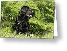 Black Labrador Dog Greeting Card