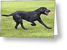 Black Labrador Playing Greeting Card
