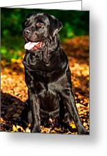 Black Labrador Retriever In Autumn Forest 1 Greeting Card