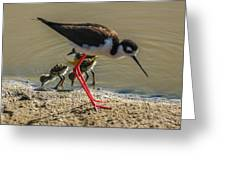 Black Neck Stilt And Babies Greeting Card