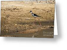 Black-necked Stilt Greeting Card by Robert Bales