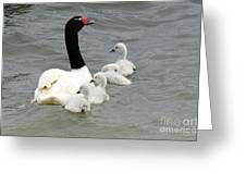 Black Necked Swan Patagonia  Greeting Card
