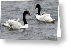 Black Necked Swans Patagonia 1 Greeting Card