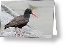Black Oystercatcher-2 Greeting Card
