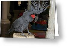 Black Palm Cockatoo Greeting Card