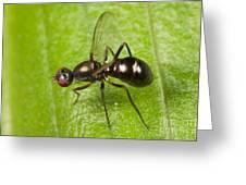 Black Scavenger Fly Greeting Card