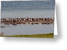 Black Skimmer Convention Greeting Card