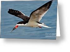 Black Skimmer In Flight Greeting Card