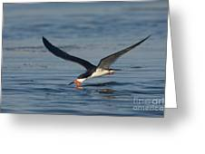 Black Skimmer Rynchops Niger Skimming Greeting Card