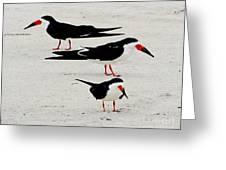 Black Skimmers  Greeting Card