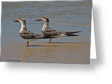 Black Skimmers On The Beach Greeting Card