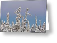 Black Spruce At Twilight Greeting Card