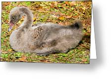 Black Swan Cygnet Greeting Card
