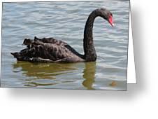 Black Swan Square Greeting Card