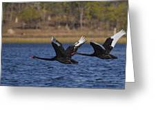 Black Swans In Flight Greeting Card