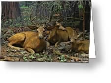 Black Tail Deer Greeting Card