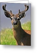 Black Tailed Deer Greeting Card