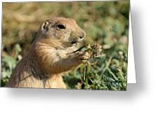 Black-tailed Prairie Dog Greeting Card