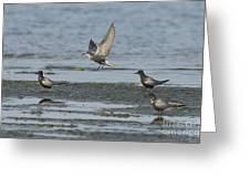 Black Terns Greeting Card
