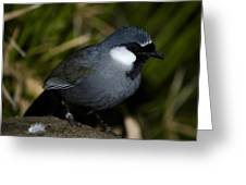 Black-throated Laughing Thrush Greeting Card