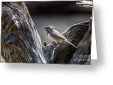 Black Throated Sparrow Greeting Card