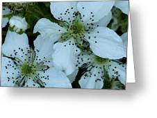 Blackberry Blossoms Greeting Card