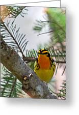Blackburnian Warbler Looking At You Greeting Card