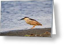 Blackcrowned Night Heron Greeting Card