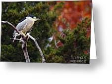 Blacked-capped Night Heron #3 Greeting Card